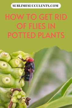 Sharing with you how to get rid of flies in potted plants. Prevention is much easier than treatment when it comes to succulent pests. Try to keep a close eye on your plants and look for signs of insect damage regularly. The sooner can begin dealing with the problem, the easier and quicker it will be to get rid of them. If you're looking for help with other common succulent pests, read our guide here. #succulentpest #succulent #succulentguide #succulentcare Cacti And Succulents, Potted Plants, Cactus Plants, Types Of Insects, Types Of Plants, Get Rid Of Flies, Fruit Flies, Succulent Care, Organic Matter