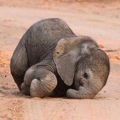 Cuteness Alert - Baby Elephant Photography by: Michelle - For more amazing wildlife and nature posts at WildlifePlanet Cute Creatures, Beautiful Creatures, Animals Beautiful, Majestic Animals, Cute Little Animals, Cute Funny Animals, Adorable Baby Animals, Cutest Animals, Elephant Photography
