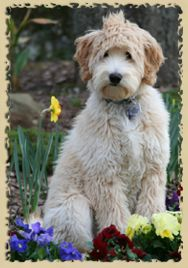 Labradoodles, Malteepoos, totally southern.