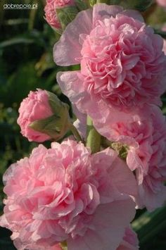 *I think this is a double hollyhock! - *I think this is a double hollyhock! *I think this is a double hollyhock! All Flowers, Exotic Flowers, Amazing Flowers, My Flower, Flower Power, Beautiful Flowers, Flowers Online, Deco Floral, Flower Pictures