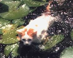 Another pinner wrote: Turkish Van Cat - [ Yes, they really swim . They like to play in the sink & help you do dishes. They also play fetch like dogs and are fairly easy to train. { No, I'm not kidding . Turkish Van Cats, Animals And Pets, Cute Animals, Purebred Cats, Exotic Cats, Cat Character, White Cats, Black Cats, All About Cats