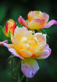 My favorite rose! Joseph's Coat Climbing Rose - these are gorgeous! Many color changes from bud to blossom - absolutely stunning. Amazing Flowers, Beautiful Roses, My Flower, Beautiful Gardens, Beautiful Flowers, Rose Foto, Climbing Roses, Love Rose, Yellow Roses