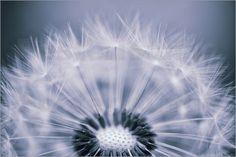 Pusteblume Poster von Susann Pählike - Dandelion