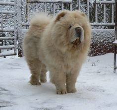 My big white bear, Broken Hill Indiana Jones is in 2013 in winter. I really like him! :)