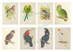Parrots in Captivity 1884 - 40 ATC CARDS digital collage | Etsy Floral Illustrations, Botanical Illustration, Printable Cards, Printable Wall Art, Bellis Perennis, Atc Cards, Vintage Birds, Parrots, Digital Collage