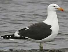 Kelp Gull    south africa
