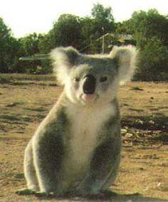 koala.jpg (270×325)
