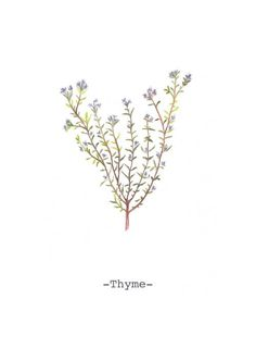 thyme botanical illustration - Google Search