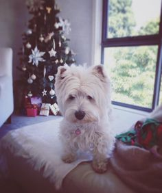 Wit yoo doin mom?  Are yoo wappin Cwismas pwesents?!?!?... Anyfing dere fur ME?  I been weally gud all year!  . #westhighlandwhiteterrier #westie #westiegram #dogsofig #whwt #westieapproved #westielove #westietude #westiesofinstagram  #westiemoments #westielovers #westieoftheday #cutewestie #dogsofinstagram #barkbox #pupshow #terrier #dogsofmelbourne #melbournedogs #lacyandpaws #dostagram #puppytales #instawestie #ilovemydog #melbournedogcollective #melbournepaws #christmas #mdc_christmas by…