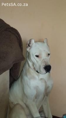 Dogo Argentino Puppies For Sale In Kwazulu Natal Puppies Dogo