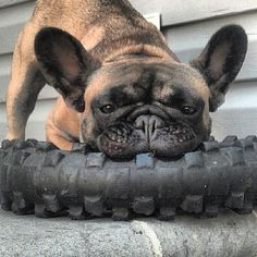 ~tire chewing frenchie~
