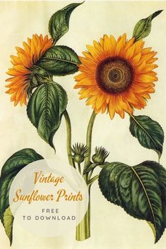 Sunflowers must be the sunniest of flowers. Here is a fabulous collection of copyright free vintage sunflower drawings t Sunflower Drawing, Sunflower Art, Sunflower Pattern, Sunflower Paintings, Sunflower Tattoos, Sunflower Illustration, Botanical Illustration, Sunflower Nursery, Picture Boxes