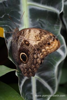 The Giant Owl butterfly, also known by its scientific name of Caligo telamonius memnon, pictured in the Butterfly Dome at the RHS Hampton Court Palace Flower Show 2017. This Giant Owl Butterfly originates from the Americas.