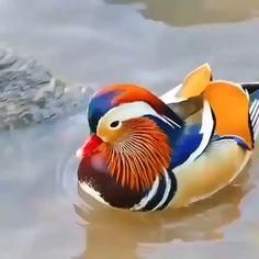 Mandarin Duck, pretty little thing. - Happy Happy Joy Joy - Mandarin Duck, pretty little thing. Canard Mandarin, Mandarin Duck, Pretty Birds, Beautiful Birds, Animals Beautiful, Pretty Animals, Beautiful Gif, Exotic Birds, Colorful Birds