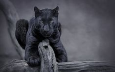 Download wallpapers black panther, wild cat, predator, wildlife, night