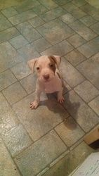Bindy is an adoptable Pit Bull Terrier Dog in Binghamton, NY. Bindy was rescued from a NYC shelter, she and her littermates were born in the shelter after mom was seized from a dog fighting operation....