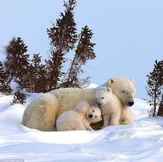 There may be nothing cuter than a polar bear cub. Except, of course, multiple polar bear cubs. And a full-grown adult polar bear thrown in f. Cute Animal Memes, Cute Animal Videos, Cute Animal Pictures, Baby Polar Bears, Cute Polar Bear, Baby Pandas, Cute Baby Animals, Animals And Pets, Funny Animals