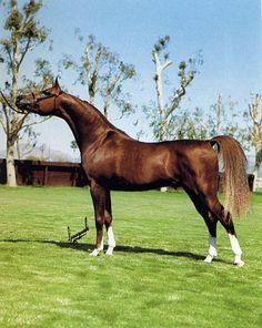 SIR MUSK (*Muscat x Gold-N-Flame, by Tornado) 1979 chestnut stallion   1986 Scottsdale Top Ten Stallion