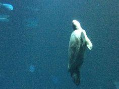 Beautiful sea turtle at Monterrey Bay Aqaurium