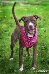 Marbles: Pit Bull Terrier, Dog  #animal