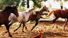 Running horses!