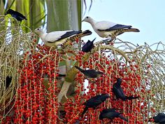 Fig birds and native pidgeons feasting on the berries of a Bangalow Palm, Bangalow, New South Wales. #Australia