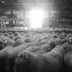 Duckworth Wool Base Layers | Sheep waiting to be shorn. PHOTO: Sam Petri