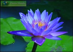Blue Lotus - Flor de Lotus Azul - Nymphaea coerulea - Blue Egyptian Water Lillies - Planta Mundo