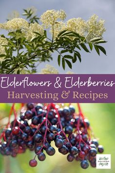 Learn how to harvest elderflowers and elderberries from foraged foods. Use in popular recipes from elderflower cordial to elderberry jam Harvest, Recipes, Ripped Recipes, Cooking Recipes, Medical Prescription, Recipe
