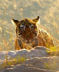 Een prachtig plaatje van een wilde Bengaalse tijger. Het is werkelijk triest dat deze majestueuze dieren met uitsterving worden bedreigd door de hebzucht van mensen. http://www.stichtingspots.nl/index.php?page=415 (Foto: John Kok)