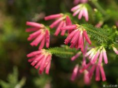 erica flower   HD Flower Photography (Vol.04) ?Pink Erica mammosa Flowers, HD Erica ...