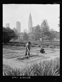 Boys working at their school's Victory Garden on 1st avenue, between 35th and 36th Streets in NYC. Circa 1944. From ModernFarmer.com