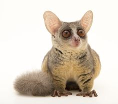 photo by @joelsartore | Check out this Northern lesser galago at the Plzen Zoo in the #Czech Republic. #Follow me to see more members of the #PhotoArk! by natgeo
