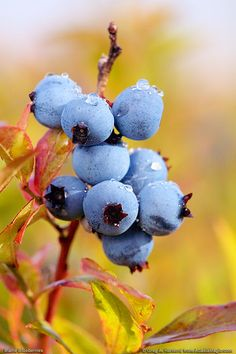 Nothing says Maine like their blueberries... this site has beautiful photos of Maine, just perfect for a Maniac in exile.... :0)