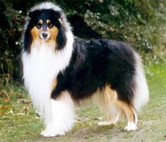 Collie-online: Pedigree database - Camanna The Craftworker (Ch)