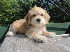 Adorable Little Yo-Chon Puppy. He is 9 weeks old #104