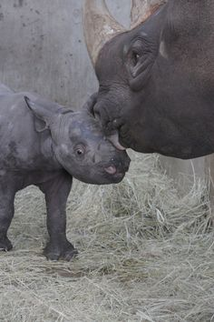 Iowa's Blank Park Zoo recently announced that Ayana, a six-year-old Eastern Black Rhino, has given birth to an 80-pound female calf. Learn more on ZooBorns.com! http://www.zooborns.com/zooborns/2016/11/rhino-calf-charms-blank-park-zoo-keepers-.html