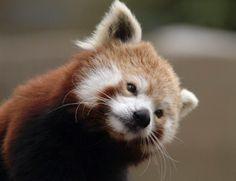 Is you lookin' fer me???  red panda