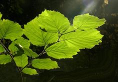 Hazel The Wild Garden: Hansen's Northwest Native Plant Database