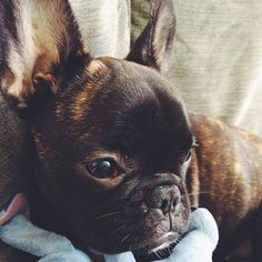 Classic French Bulldog Puppy face when,  (A) another puppy 'might' be getting a treat that they're not getting  (B) you're talking to them & they're totally ignoring you,  (C) they just farted and they're acting like nothing happened.... ALL TRUE ; }