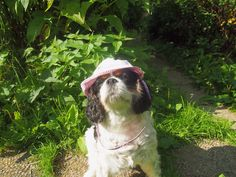 Jadetta - Throwback to summer - photo by King Charles Spaniel, Cavalier King Charles, I Love Dogs, Cute Dogs, Cutest Dog Ever, Summer Photos, Bird Watching, Spaniels, Pets