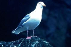 Glacous winged gull on rock