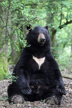 Black bears can be found throughout the Great Smoky Mountains National Park.
