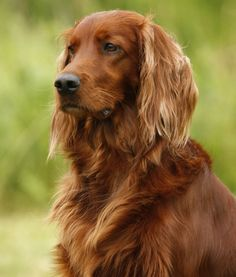 Irish Setter- We had an Irish Setter when I was young called Duffy. A red haired dog for a red haired family :)