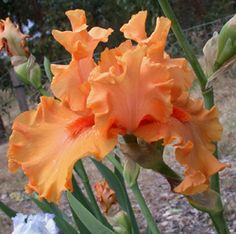Oh James Iris.  Pure incandescent orange with matching colored beards. Ruffled quality blooms.