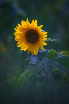 "lonequixote: "" sunflower """
