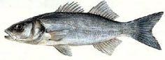 maduración de pescado