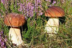 Znalezione obrazy dla zapytania grzyby