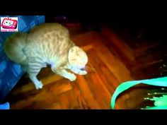 FUNNY VIDEOS: Top Funny Cats Compilation 2014 NEW - http://dailyfunnypets.com/videos/cats/funny-videos-top-funny-cats-compilation-2014-new/ - funny videos, funny animals, funny vines, funny animal videos, funny video clips, funny animal vines, funny videos 2014, funny animal videos for children, funny cats, funny cat videos, funny.... - (animal), animals, cat, cats, dog, dogs, fun, funny, pet, pets, videos, vine, vines