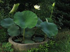 I'm OBSESSED with lotus grown in a stone trough.